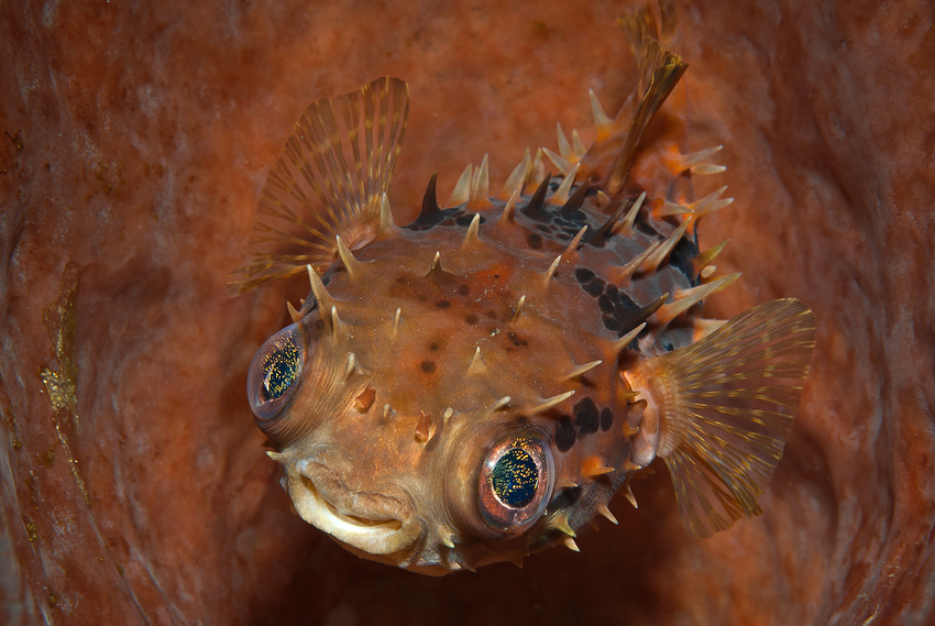 Kurzstachel Igelfisch (Cyclichthys orbicularis)