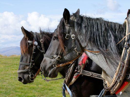 Kutsch-Pferde auf der Seiser Alm.