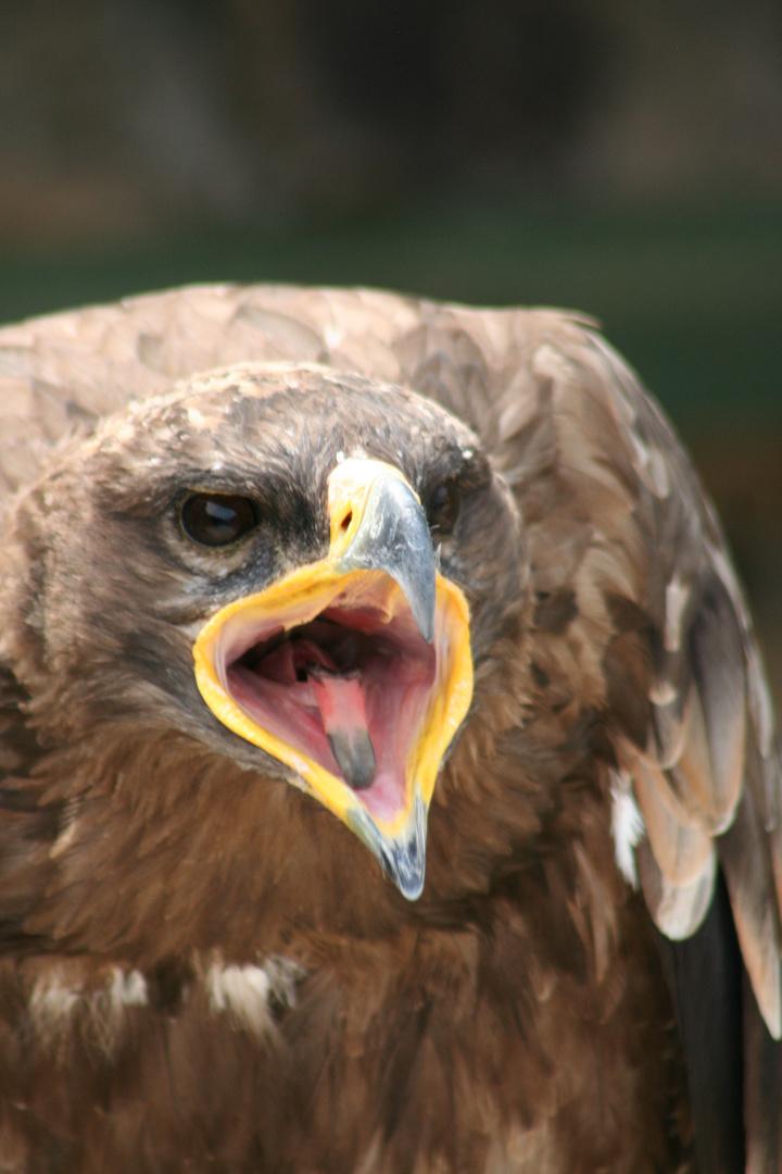 l aigle