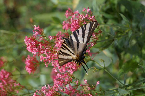 l amour du papillon