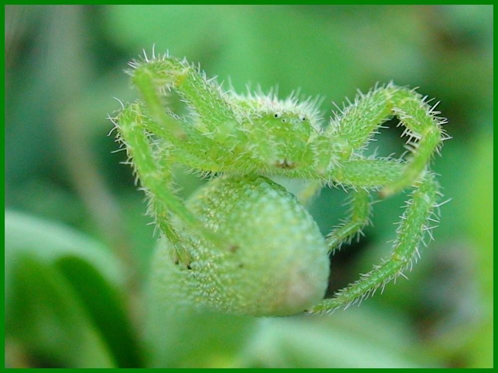 L 'araignée verte