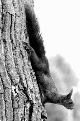L' Écureuil