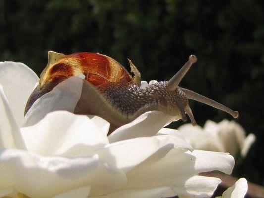 l escargo et la rose blanche