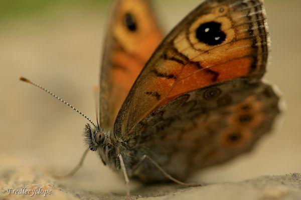 L' œil du papillon