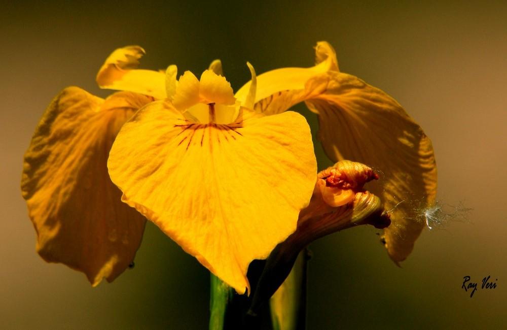 l' Iris Jaune