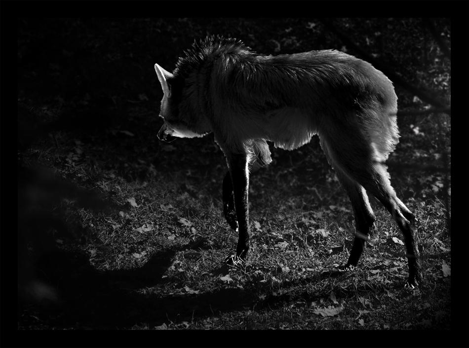 L' ombra del lupo