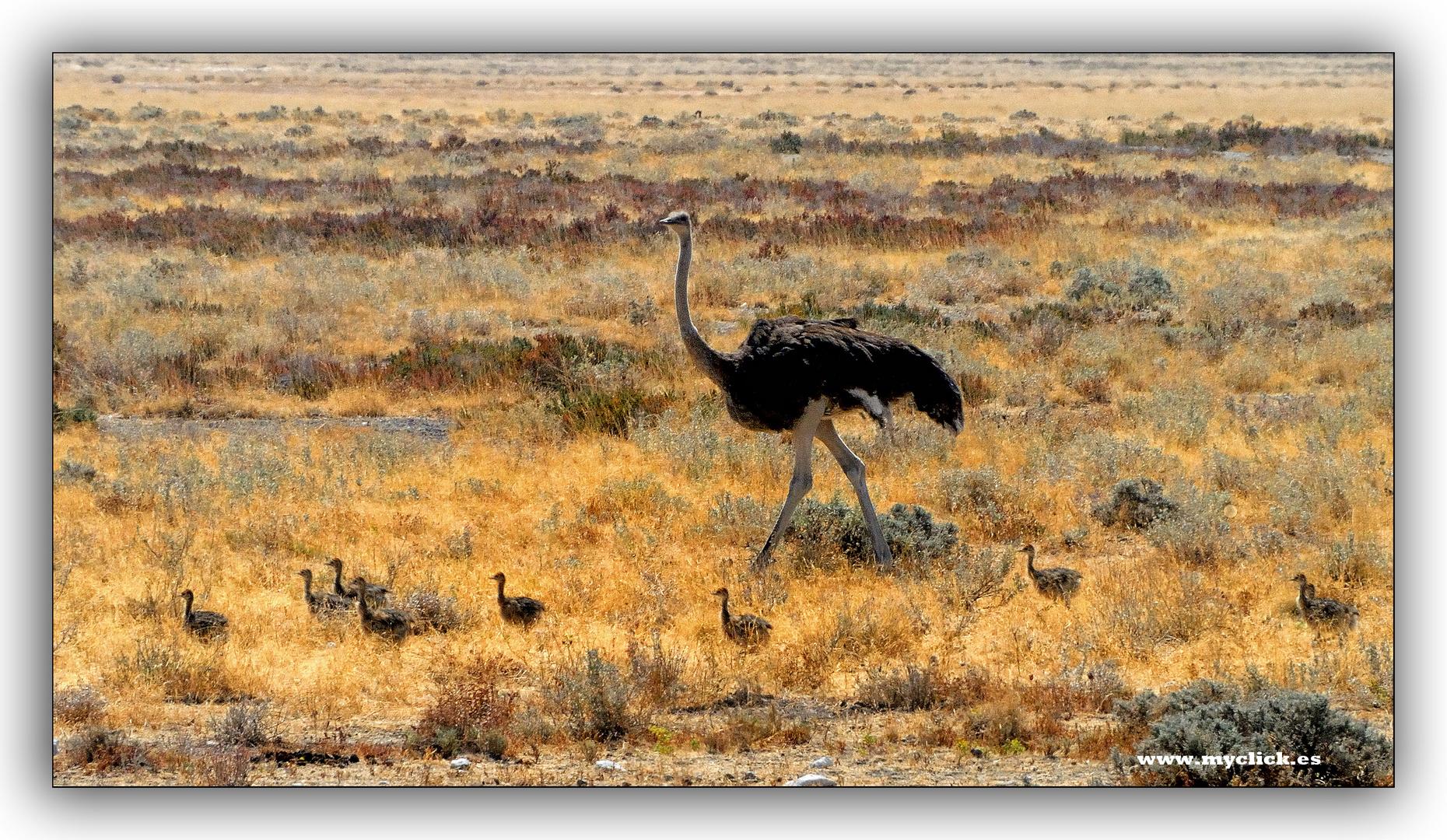 LA AVESTRUZ Y SUS POLLUELOS -ETHOSA-NAMIBIA