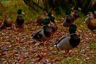la balade des canards