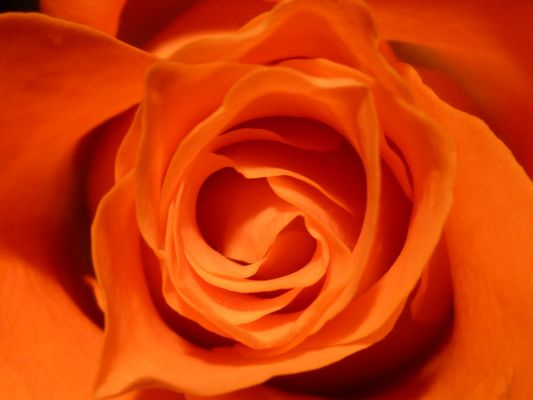 La beauté d'une rose...