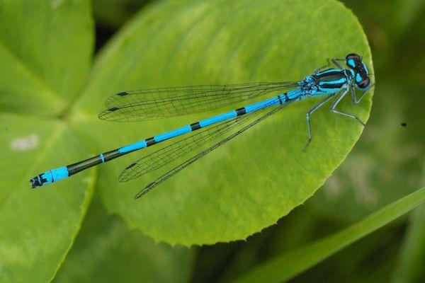 la belle bleue