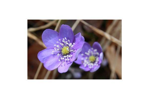 La belle du printemps