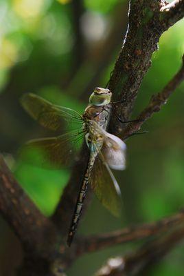 La belle libéllule...