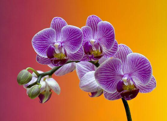 La belleza de la Phalaenopsis