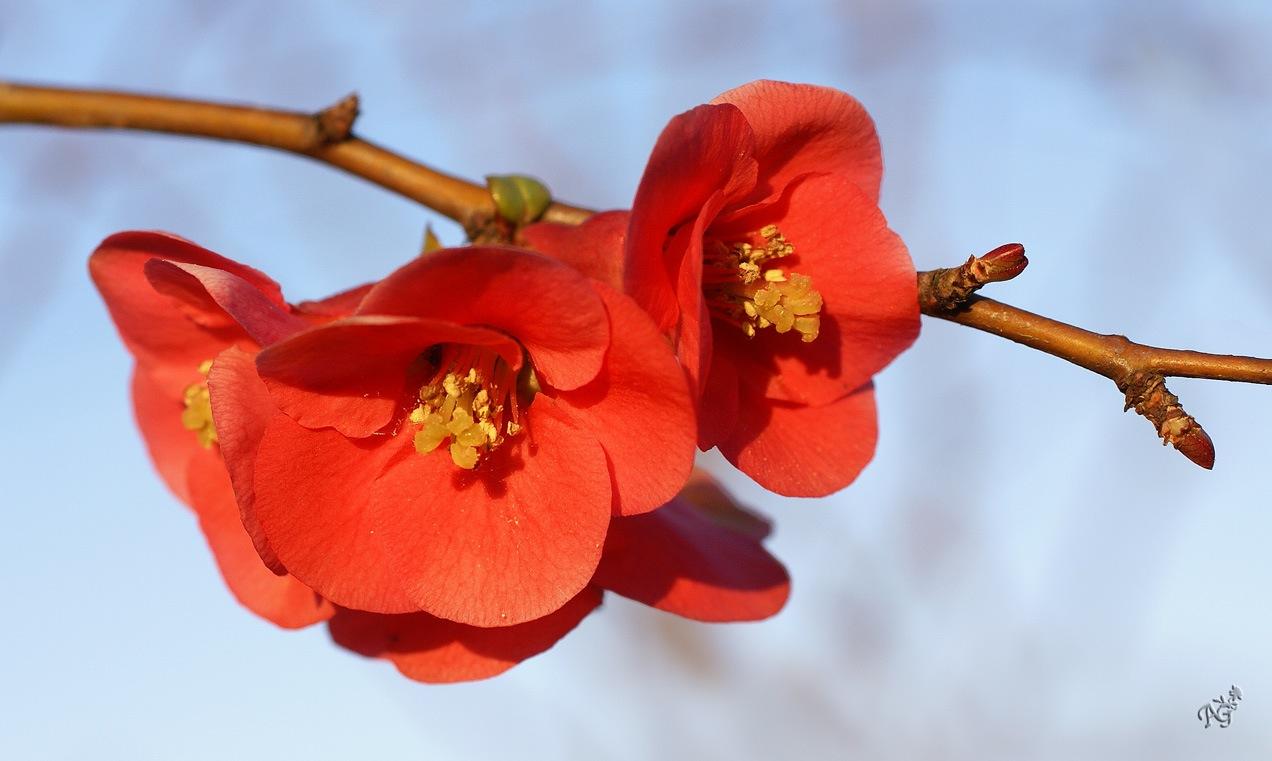 La branche fleurie ...