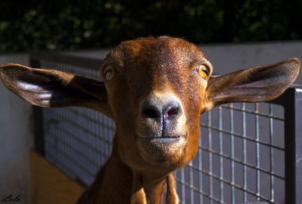 La cabra..la cabra...(no sigais la canción!!)