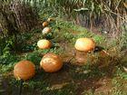 La Calabaza, una historia larga como sus plantas