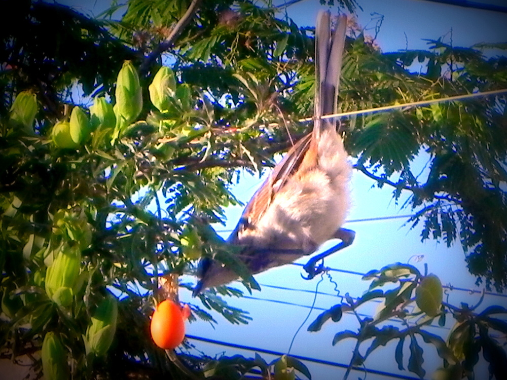 la calandria,comiendo el fruto del mburucuya o passionaria