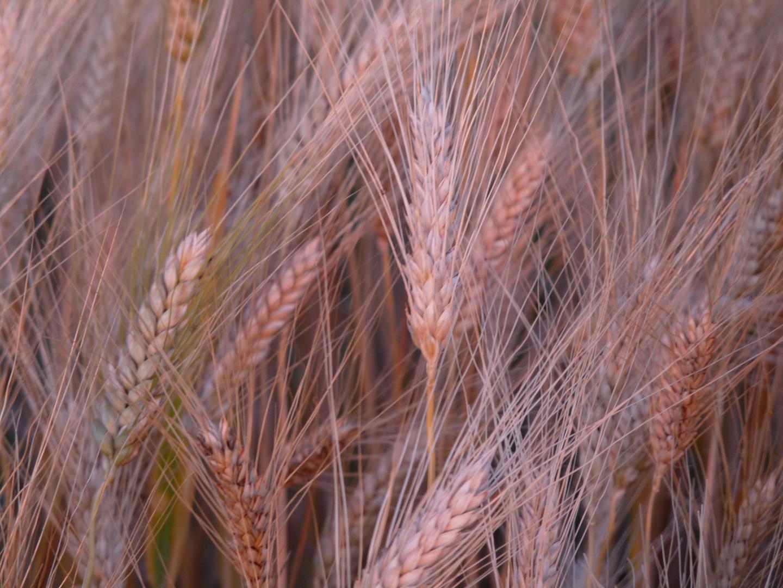 La chanson des blés d'or...