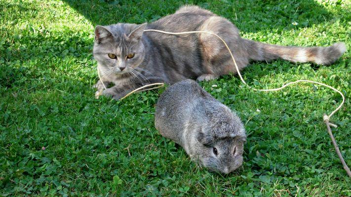 La chatte et le cochon D'inde