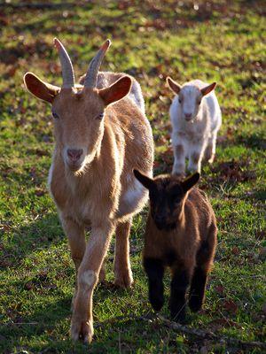 La chèvre et les chevreaux - Ziege mit Kitzchen