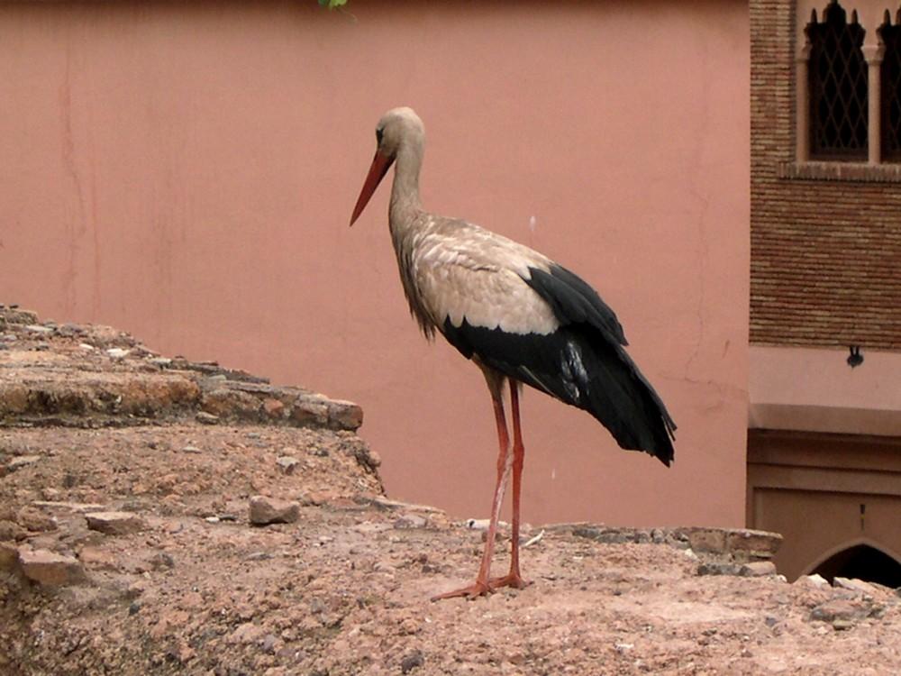 La cigogne surveillant son nid près des tombeaux Saâdiens à Marrakech