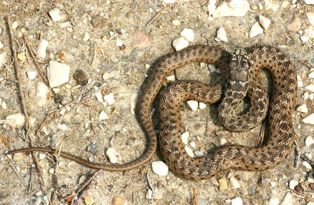 La couleuvre de Montpellier, Malpolon monspessulanus