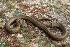 La couleuvre vipérine, Natrix maura