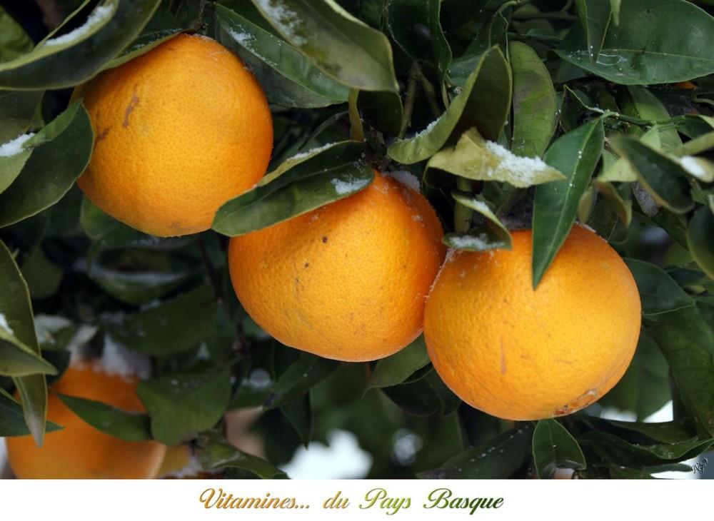 la cueillette des oranges au Pays Basque