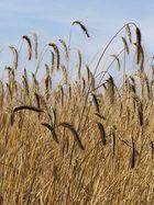 la danse des blés