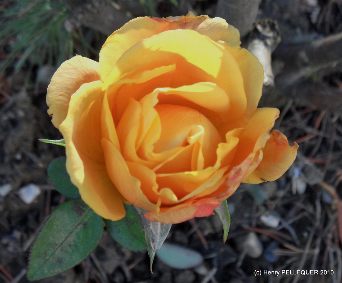 La dernière rose !