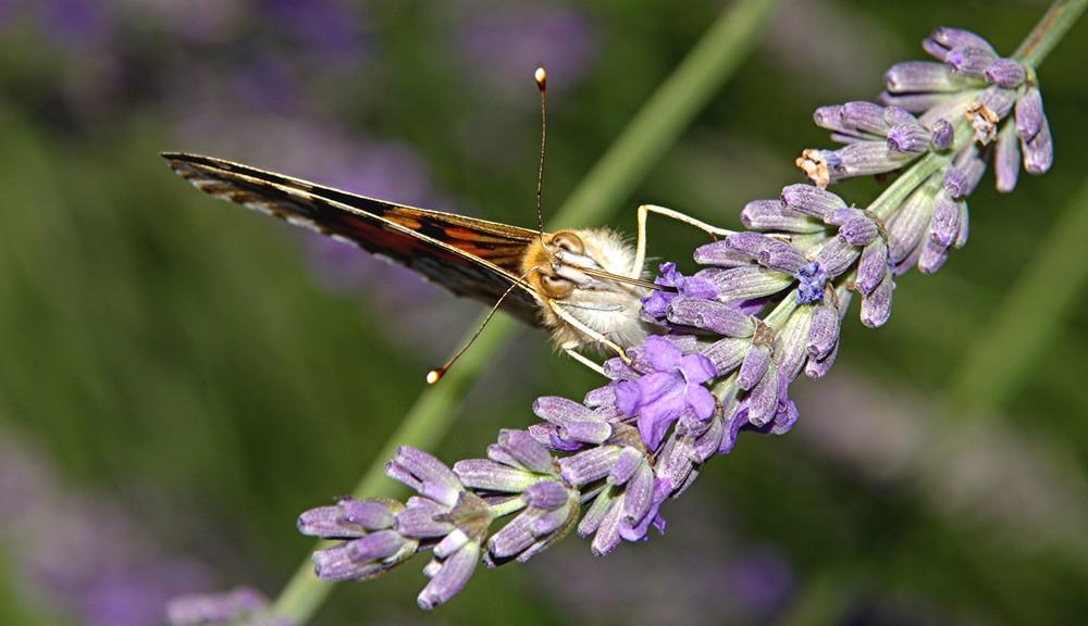 la diagonale du papillon