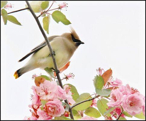 La douceur des fleurs de pommiers