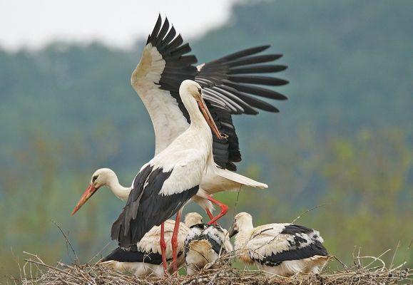 La famille Cigogne au Nid