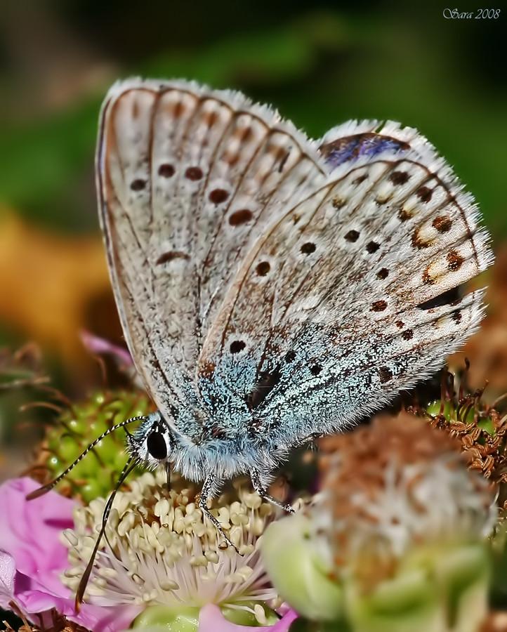 la farfalla color cielo