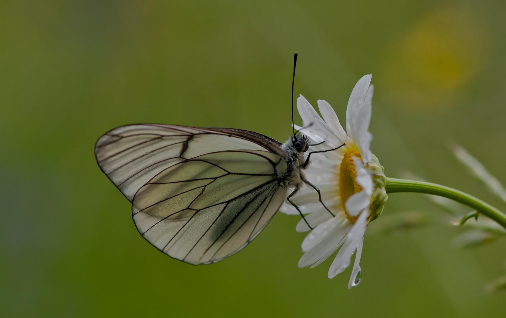 La farfalla e la margherita
