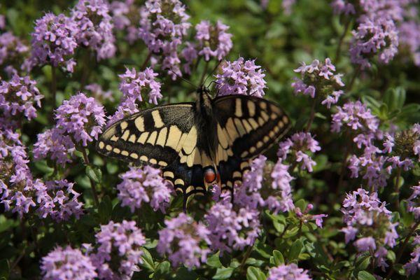 la farfalla sui fiori