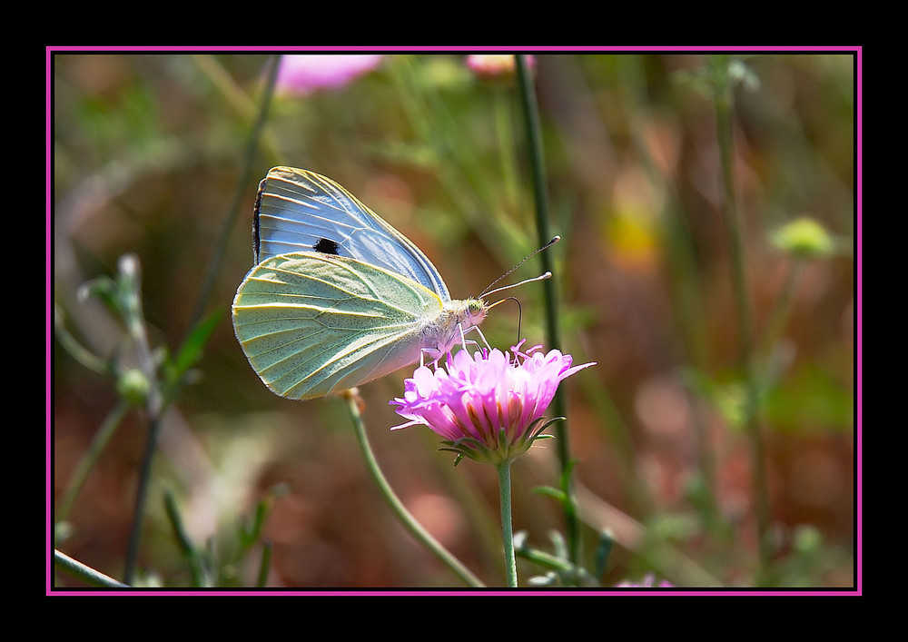 La farfallina