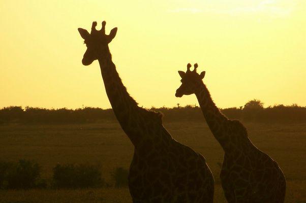 La fin d'une safari