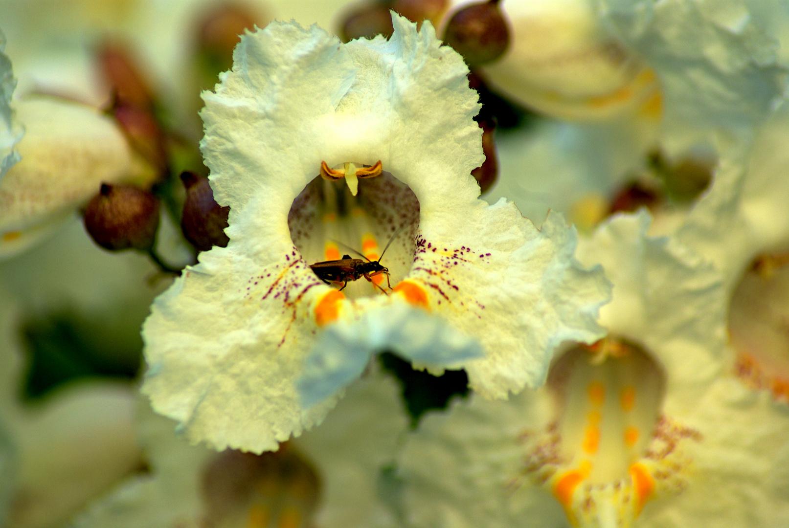 la fleur de Catalpa