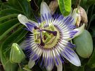 La fleur de la passion