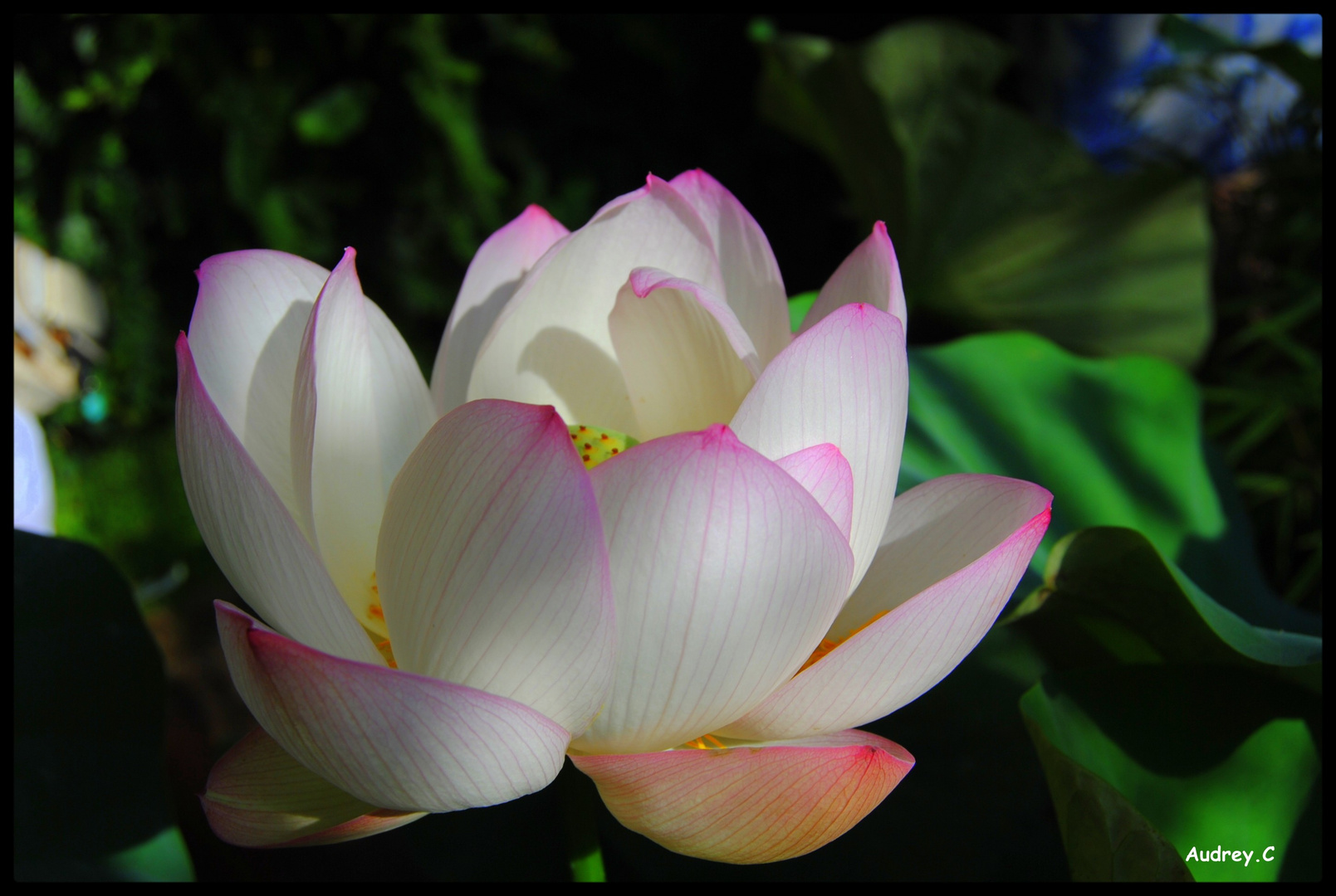 La fleur de lotus !!!!!