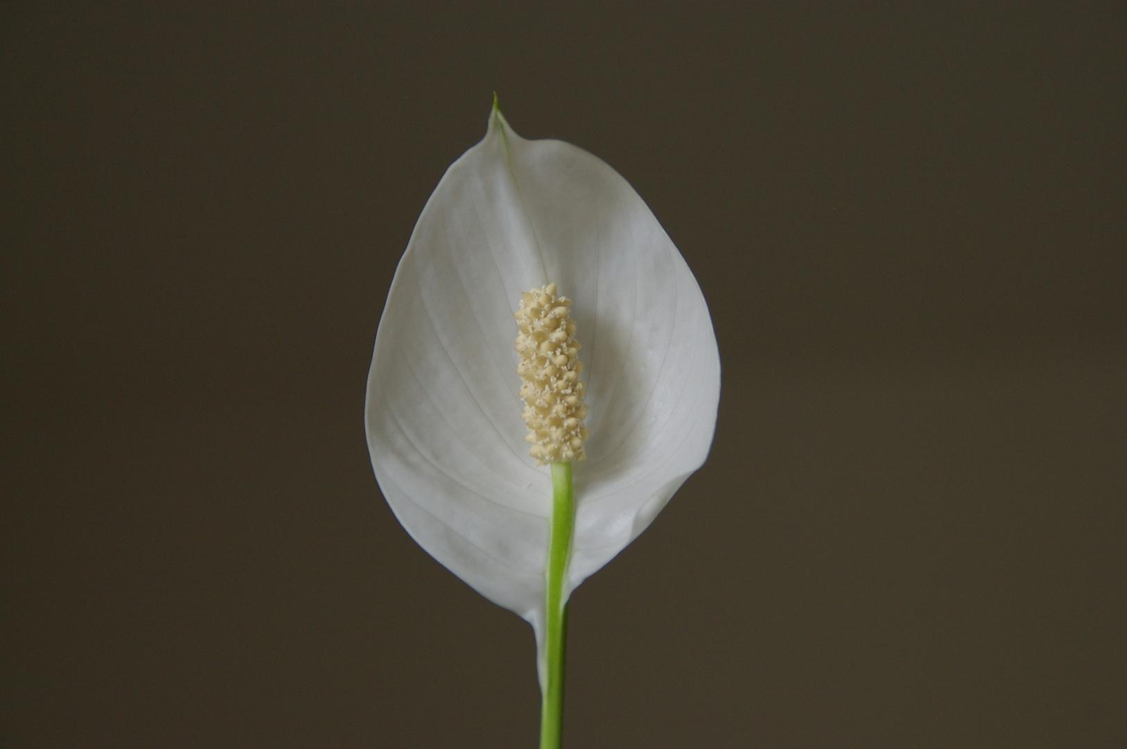 la fleur de ma plante interieur.