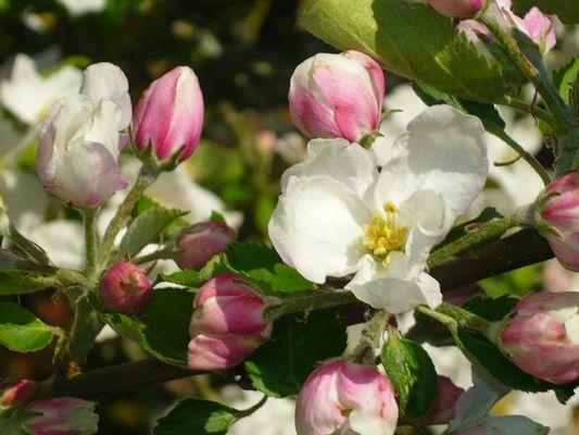 La fleur de pommier