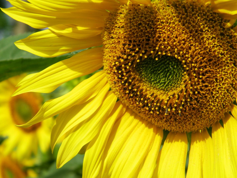 La fleur de soleil