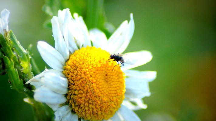 la fleur et sa mouche