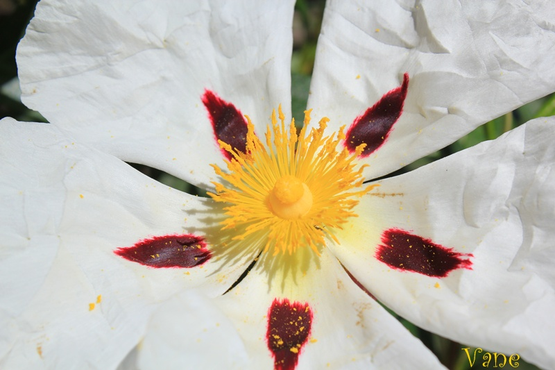 ... La flor de la jara ...