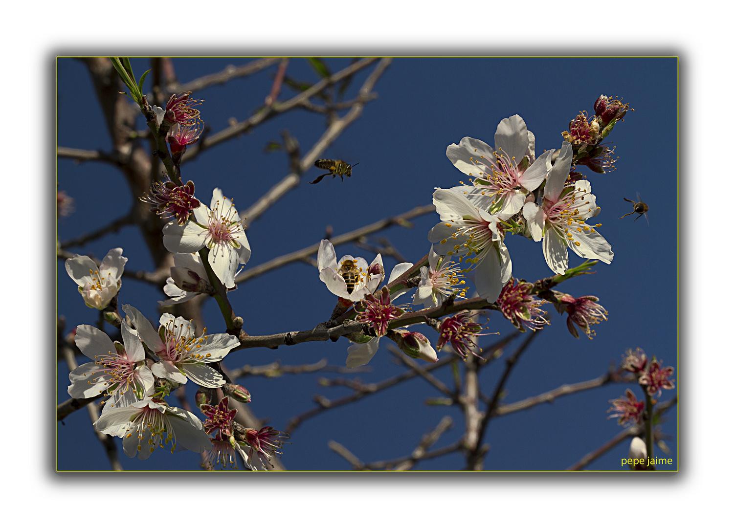 La flor del almendro (para Isabel)