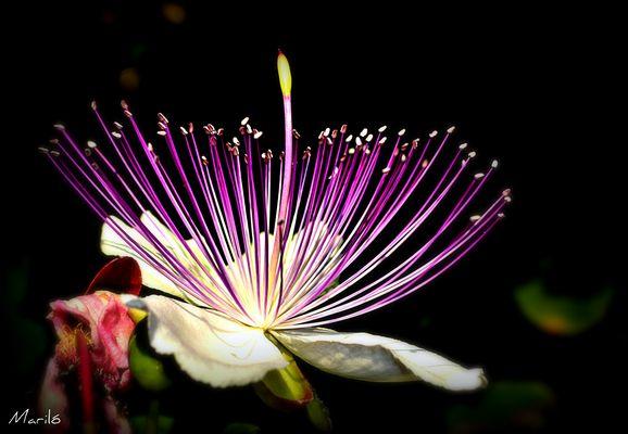 La flor del bon record