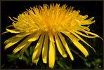 La flor más bella del mundo.......Die schönste Blume der Welt.......