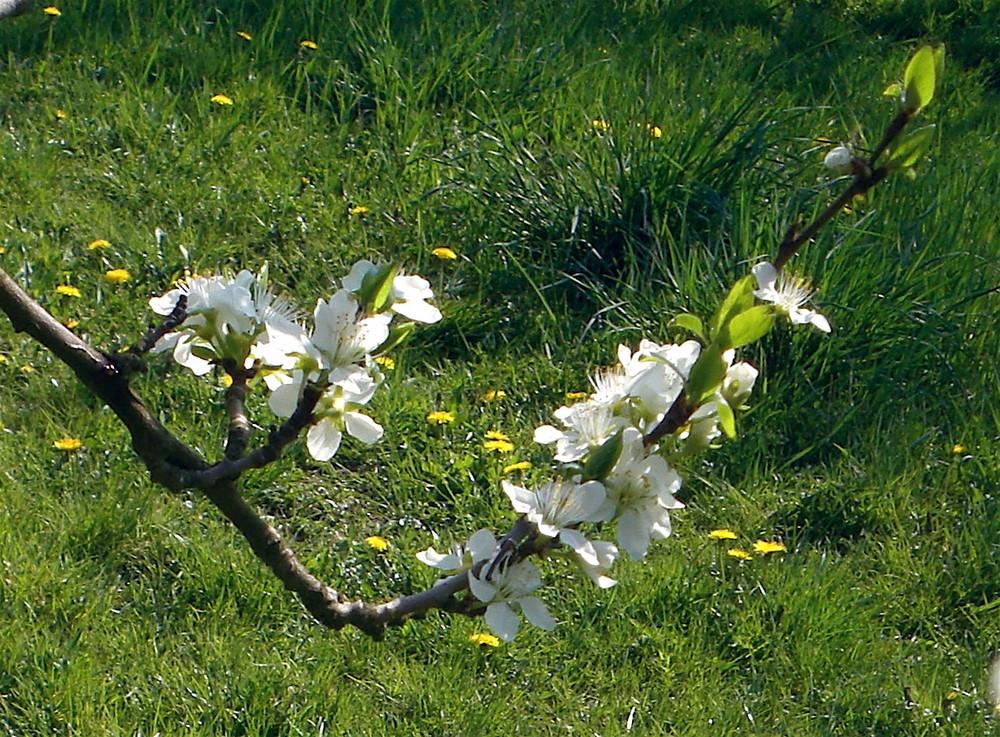 la floraison des cerisiers   -  '7'